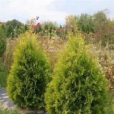 polar gold thuja meadow wholesale liners