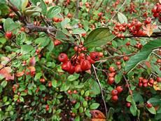 file cotoneaster franchetii 36 jpg
