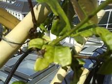 pflanze blätter rollen sich ein bl 228 tter rollen sich ein wieso hausgarten net