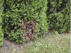 what to do if thuja occidentalis trees turned brown
