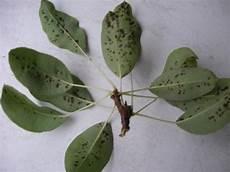birnbaum schwarze blätter was hat der birnbaum mein sch 246 ner garten forum