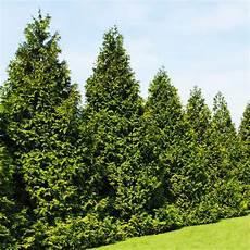 Thujas Green Giants Vs Emeralds Gardening Thuja