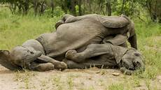 Malvorlagen Elefant Neuwied Diese Elefanten Sind Sturzbesoffen Welt
