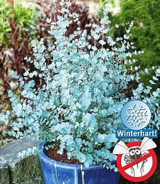 winterharter eukalyptus quot azura 174 quot 1 pflanze g 252 nstig