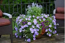 kübelpflanzen winterhart blühend winterharte balkonpflanzen pflanzarten und pflege tipps