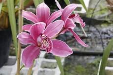 cymbidium orchideen pflege cymbidium orchideen pflegen orchideenfans