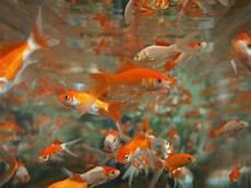 m 228 dchen in japan musste tote goldfische essen unsertirol24