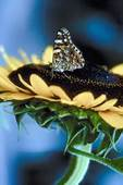 Do Sunflowers Attract Butterflies  Home Guides SF Gate