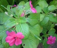 Terkeren 17 Sketsa Bunga Pacar Air Gambar Bunga Indah