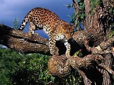 Macan Tutul Gosip Gambar
