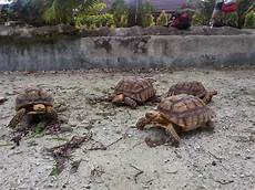 pet keepers geochelone sulcata quot spurred quot care sheet