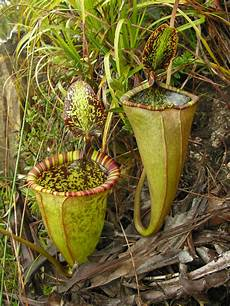 nepenthes attenboroughii a new species of pitcher