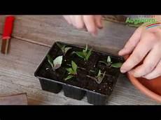 fuchsien vermehren durch stecklinge