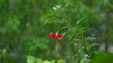 hibiskus pflanzen schneiden pflegen und 252 berwintern