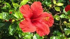 hibiskus schneiden und 252 berwintern pflege f 252 r den
