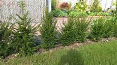 eibenhecke schneiden pflanzen f 252 r nassen boden