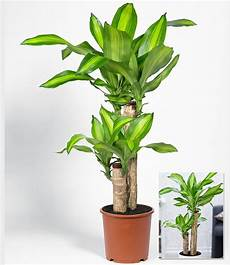 Dracaena Quot Massangeana Quot 1 Pflanze G 252 Nstig Kaufen
