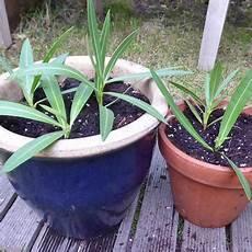 oleander vermehren mein sch 246 ner garten