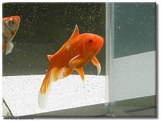 goldfisch haltung im teich teich garten rubrik teichfische