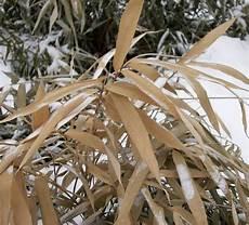 Bambus Braune Blätter - bambus erfroren einfach im fr 252 hling radikal