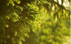 nature depth 4k wallpaper spruce green nature photography blurred depth of