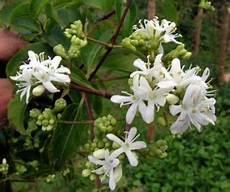 arbuste à fleurs blanches odorantes heptacodium jasminoides magnifique arbuste de chine 224 la