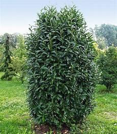 Kirschlorbeer Pflanzen Kaufen - s 228 ulen kirschlorbeer quot genolia 174 quot 1 pflanze g 252 nstig