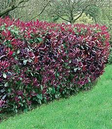 photinia hecke robin kert heckenpflanzen