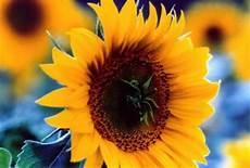 significato girasole nel linguaggio dei fiori girasole