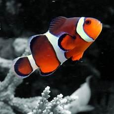 Ikan Badut Gosip Gambar