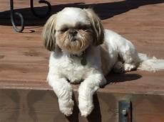 fun shih tzu haircuts poodle standard poodle toy poodle miniature poodle all