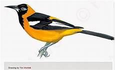 dibujo turpial dibujo del turpial ave nacional de venezuela imagui