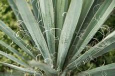 yucca palme zurückschneiden zamioculcas teilen 187 so vermehren sie sie ganz einfach
