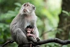 Spesies Monyet Lucu Asal Indonesia Ini Terancam Punah
