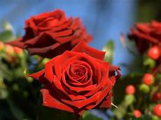 flower ki wallpaper amazing roses wallpapers and backgrounds