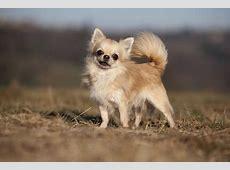 Chihuahua   KleineHunderassen.Info