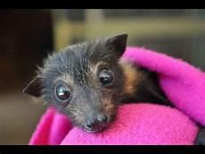 le chauve souris en australie il existe un h 244 pital pour chauve souris