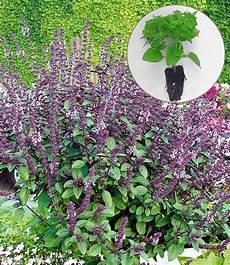 strauch basilikum magic blue 174 1a jungpflanzen baldur