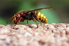 hornissen friedliche insektenj 228 ger bund naturschutz