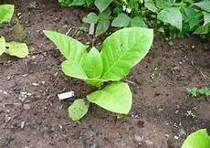 tabak selber anbauen teil 1 voraussetzungen