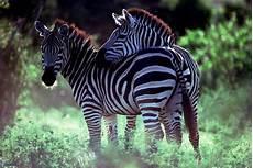 zebra bild zebras