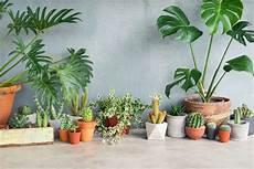 Zimmerpflanzen Für Gute Luft - die 10 besten pflanzen f 252 r drinnen plantura