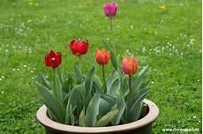 tulpen im topf in der gartengestaltung tulpen im blumentopf florilegium
