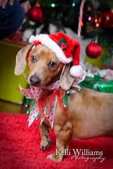 puppy merry christmas dog christmas puppy christmas dog
