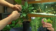vom steckling zur pflanze kirschlorbeer einfach selber