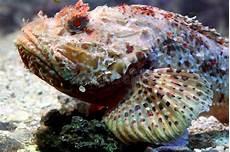 Skorpion Fische 4 Stockfoto Bild Blooded Marine
