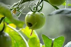 gr 252 ne raupen auf tomaten balkon und garten