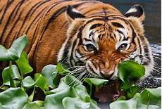 Percaya Atau Tidak Harimau Malaya Kini Hanya Tinggal 200