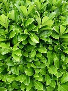 Sorten Kirschlorbeer Pflanzen F 252 R Nassen Boden