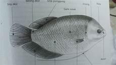 Gambar Anatomi Ikan Dan Fungsinya